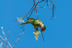 Aratinga bird clinging to a branch to eat some flowers. Stock Image