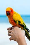 Aratinga solstitialis bird. Aratinga solstitialis bird in your hand Royalty Free Stock Photo