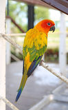 A aratinga solstitialis bird Stock Image