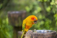 Aratinga solstitialis. Parrot hanging from a branch Royalty Free Stock Photos