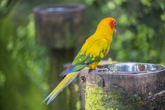 Aratinga solstitialis. Parrot hanging from a branch Royalty Free Stock Photography