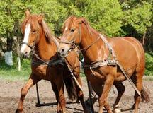 Aratura del campo con i cavalli Fotografie Stock