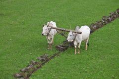 Aratura del giacimento del riso Fotografie Stock