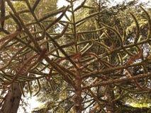 Araucária, árvore nacional do Chile Imagem de Stock Royalty Free