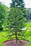 Araucana αροκαριών ή της Χιλής πεύκο - αειθαλές δέντρο κωνοφόρων Στοκ Εικόνες