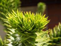 Araucana αροκαριών Στοκ Φωτογραφία