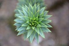 Araucana араукарии Стоковое фото RF