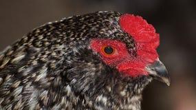 Araucana黑色雄鸡鸡鸟 免版税图库摄影