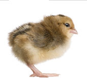 Araucana, 2 days old, standing. Araucana, also known as a South American Rumpless chick, 2 days old, standing in front of white background stock photo