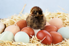 Araucana Chick and Eggs. Adorable little Araucana chick sitting on top of a variety of organic farm fresh eggs.  Araucanas are also known as the Easter Chicken Stock Image