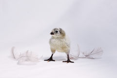 Araucana chicken with feathers. New hatched chicken of a grey araucana hen on white background Royalty Free Stock Image