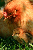 Araucana Hen And Chick. Getting sun in the grass Royalty Free Stock Image