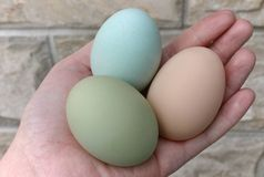 Araucana hens green and blue eggs. Araucana or Spanishis a breed of chicken originating in Chile. It is well known for its blue eggs Royalty Free Stock Photo