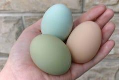 Araucana hens green and blue eggs Royalty Free Stock Photo