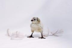 Araucana-Huhn mit Federn Lizenzfreies Stockbild