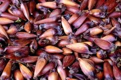 Araucano Araucaria Tree Seeds, Known As Pinion Royalty Free Stock Image