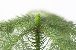 Araucaria. A closeup photo of an araucaria plant with white background Royalty Free Stock Images