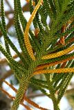 Araucaria. Tree fragment on sky background Stock Photo