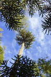 Araucaria. National tree of Chile araucaria Stock Images