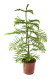 Araucaria. Isolated flower in pot: Araucaria Royalty Free Stock Photos