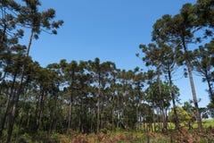 Araucaria Photo libre de droits