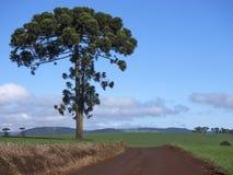 Araucaria Image stock