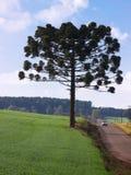 Araucaria Images stock