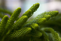 Araucaria Royalty-vrije Stock Afbeelding