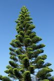 Araucaria. An Araucaria against a blue sky on the islands of New Caledonia in the South Pacific Stock Photography