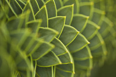 Araucaria. Also known as monkey puzzle Stock Photo