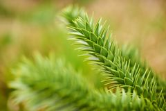 Araucaria, also known as monkey puzzle stock photography