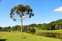 Araucaria Angustifolia (Braziliaanse pijnboom) stock fotografie