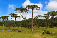 Araucaria angustifolia ( Brazilian pine),  Brazil. Landscape with Araucaria angustifolia ( Brazilian pine), road with sky and clouds background, Brazil Royalty Free Stock Images