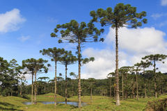 Araucaria angustifolia ( Brazilian pine),  Brazil. Landscape with Araucaria angustifolia ( Brazilian pine) with sky and clouds background, Brazil. Selective Royalty Free Stock Photo