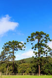 Araucaria angustifolia (Brazilian pine), Brazil. Landscape with Araucaria angustifolia ( Brazilian pine) with sky and clouds background, Brazil. Selective focus Stock Photography
