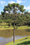 Araucaria angustifolia ( Brazilian pine), Brazil Stock Photo