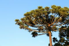Araucaria Angustifolia (Brazilian pine) Stock Photography