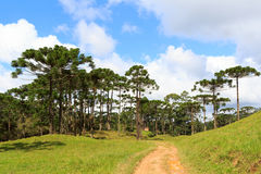 Araucaria angustifolia ( Brazilian pine) forest, Brazil. Landscape with Araucaria angustifolia ( Brazilian pine), road and clouds background, Brazil. Selective Royalty Free Stock Images