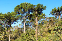 Araucaria angustifolia ( Brazilian pine) in forest. Landscape Brazil Royalty Free Stock Images