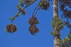 Araucaria angustifolia. Details of an Araucaria angustifolia the Parana pine Royalty Free Stock Image