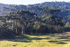 Araucaria angustifolia Forest Stock Image