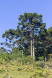 Araucaria angustifolia Forest Stock Images