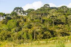 Araucaria angustifolia Forest Stock Photos