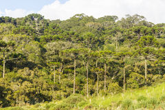 Araucaria angustifolia Forest Royalty Free Stock Images