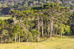 Araucaria angustifolia Forest Royalty Free Stock Image