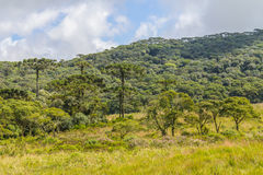 Araucaria angustifolia Forest Royalty Free Stock Photos