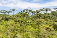 Araucaria angustifolia forest at Itaimbezinho Canyon Stock Image