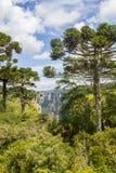 Araucaria angustifolia forest at Itaimbezinho Canyon Stock Photo