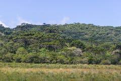 Araucaria angustifolia forest at Itaimbezinho Canyon Stock Photos