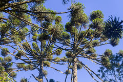 Araucaria angustifolia Stock Image